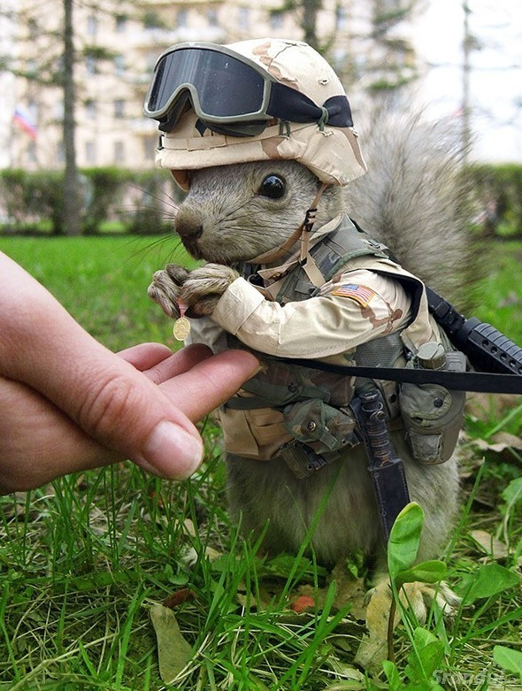 Veverka ve službách armády