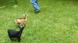Hyperaktivní koza