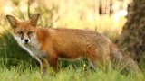 Liška na lovu zajíců