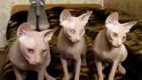 Synchronizované kočky